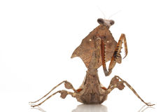 Malaysian Dead Leaf Mantis. (Deroplatys lobata) isolated on white background Royalty Free Stock Image