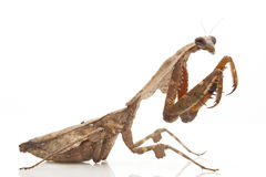 Malaysian Dead Leaf Mantis. (Deroplatys lobata) isolated on white background Royalty Free Stock Images
