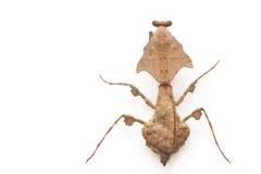 Malaysian Dead Leaf Mantis. (Deroplatys lobata) isolated on white background Royalty Free Stock Photos