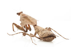 Malaysian Dead Leaf Mantis Royalty Free Stock Photos