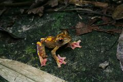 Harlequin tree frog Royalty Free Stock Photo