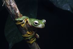 Wallace& x27;s flying tree frog Royalty Free Stock Photography