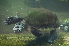 Malaysian giant turtle (Orlitia borneensis). Royalty Free Stock Images