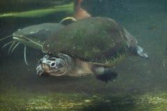 Malaysian giant turtle (Orlitia borneensis). Stock Photography