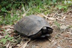 Eastern asian brown tortoise Stock Photo