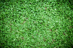 Malaysian grass floor background Royalty Free Stock Images