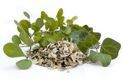 Malaysian Herb Mas Cotek Ficus Deltoidea Stock Photos