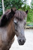 Malaysian Local Pony Profile Royalty Free Stock Images