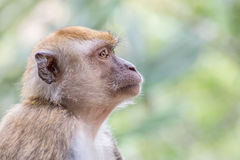 The Malaysian Macaque monkey with nature bokeh background Stock Photos