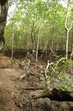 A malaysian mangrove forest on langkawi Stock Image
