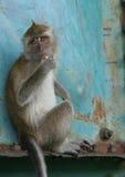 Malaysian Monkey II. Monkey seen at park in Kuala Lumpur Royalty Free Stock Photography