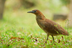 Malaysian Night Heron Royalty Free Stock Image