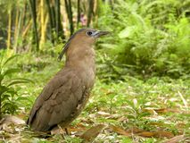 Malaysian Night Heron a bird Stock Photos