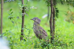 Malaysian night heron Stock Photos