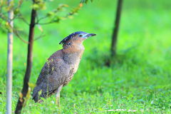 Malaysian night heron Royalty Free Stock Photo