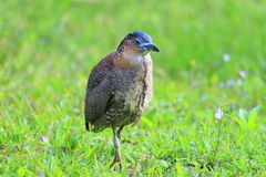 Malaysian night heron Stock Images