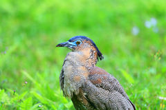 Malaysian night heron Royalty Free Stock Photos