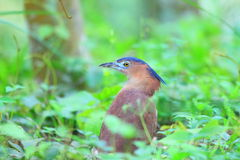 Malaysian night heron Stock Photo