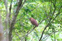 Malaysian night heron Stock Photography