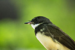 Malaysian Pied Fantail Stock Images