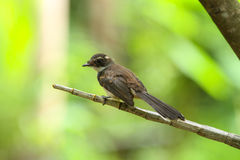 Malaysian Pied Fantail(Rhipidura javanica) in nature Royalty Free Stock Image
