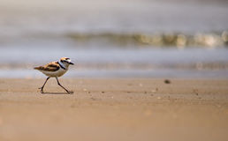 Malaysian plover on a remote beach. Pranburi Forest Park, Prachup Khiri Khan, Thailand. Royalty Free Stock Photo