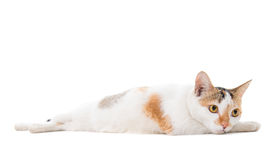 Malaysian sad short haired cat Royalty Free Stock Image