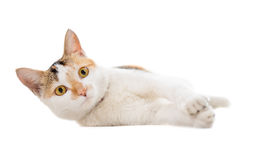 Malaysian short haired cat lying Royalty Free Stock Photo