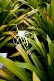 Malaysian Spider Lily Flower Stock Photos