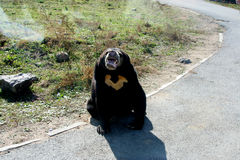 Malaysian sun bear Stock Images