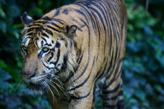 Malaysian Tiger. On the prowl Stock Photo
