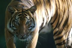 Malaysian Tiger. On the prowl Royalty Free Stock Photo
