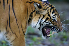 Malaysian Tiger Stock Photo
