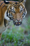 Malaysian Tiger. On the prowl Stock Images