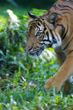 Malaysian Tiger. On the prowl Royalty Free Stock Images