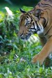 Malaysian Tiger Royalty Free Stock Images