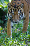 Malaysian Tiger. On the prowl Royalty Free Stock Photography