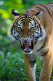 Malaysian Tiger Stock Photo