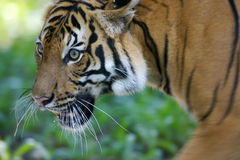 Malaysian Tiger. On the prowl Stock Photography