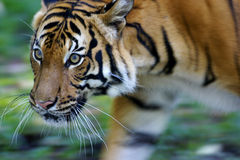 Malaysian Tiger. On the prowl Stock Photos