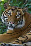 Malaysian Tiger. A Malaysian Tiger having a rest Stock Images