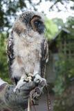 Malaysian Wood Owl Stock Images