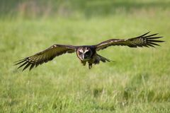Malaysian wood owl in flight Royalty Free Stock Image