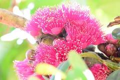Malaysische Apple-Blume Lizenzfreies Stockbild