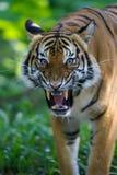 Malaysischer Tiger stockfoto