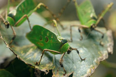 Malaysisches Blattheuschrecke Ancylecha-fenestrata Stockbilder