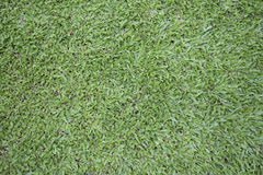 Malaysisches Gras Stockbild