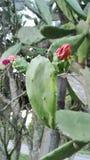 Malaysisk kaktus med blomman Fotografering för Bildbyråer