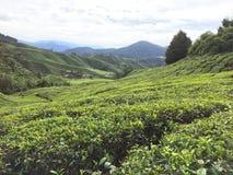 Malaysisk tekoloni i Cameron Highlands arkivfoto
