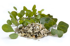 Malaysiska Herb Mas Cotek Ficus Deltoidea Arkivfoton